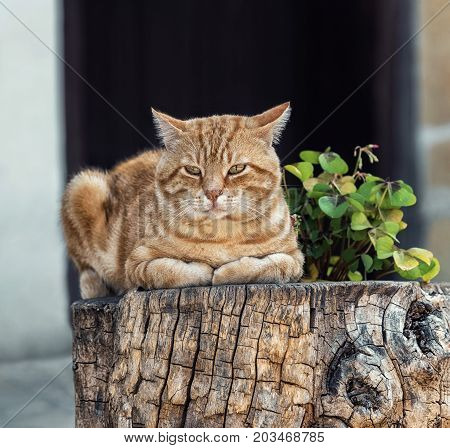 A fluffy ginger tabby male cat resting on a wooden block in front of a souvenir shop in the national revival architectural complex in Tryavna, Bulgaria, Eastern Europe. Blurred background.