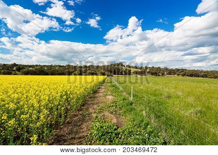 Canola fields during a warm spring day near York, Western Australia. York is about 1 hour drive east of Perth, Australia.