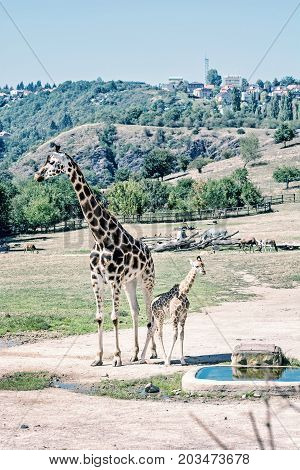 Rothschild's giraffe with cub at Prague zoo. Animals of african safari. Giraffa camelopardalis rothschildi. Blue photo filter.