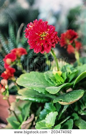 Detail photo of red dahlia flower. Natural scene. Herbaceous perennial plant. Dark photo filter.