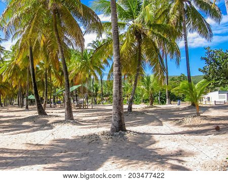 Tropical coconut palms on the famous Souffleur Beach in La Desirade, Guadeloupe Archipelago in Antilles.