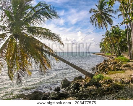 Tropical coconut palms along the coast of the island of Guadeloupe, Antilles, Caribbean.