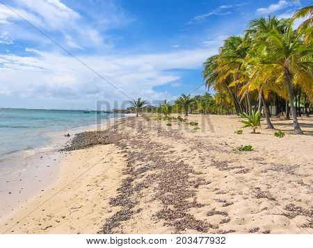 Coconut palm trees and beautiful white sand at the beach of La Caravelle, Saint-Anne in Guadeloupe. Antilles, Caribbean.