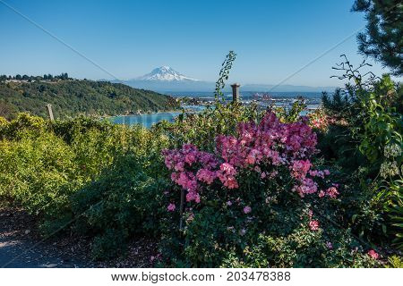 A view of Mount Rainier in the distance with pink flowers in the foreground.