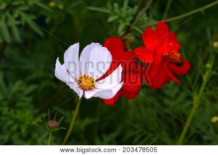 Beautiful cosmos flower closeup on summer background