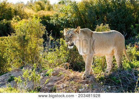 Lioness Staring At Her Prey