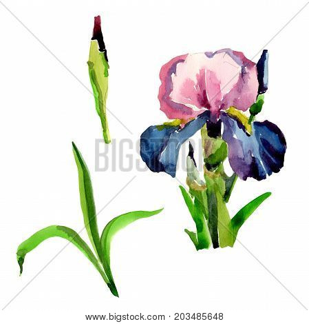 Wildflower iris flower in a watercolor style isolated. Full name of the plant: flower-de-luce. Aquarelle wild flower for background, texture, wrapper pattern, frame or border.