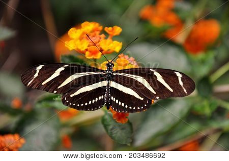 A Zebra longwing butterfly lands in the gardens for a visit.