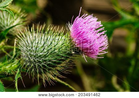 A pink flower bud on a thistle bush in a field. The thistle is a flower and bush that is covered with sharp quills like a porcupine.