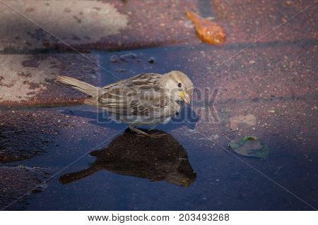 Sparrow bathes in a puddle on a hot day. Birds