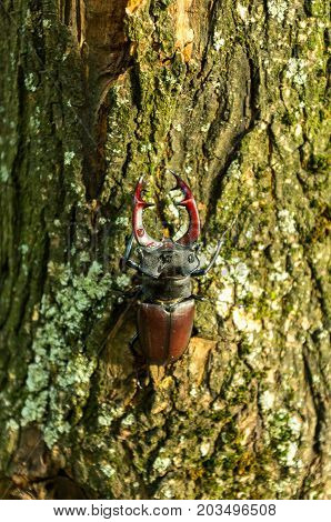 A beetle is on a tree. Beetle with horns on the trunk of a tree. Insect in nature.