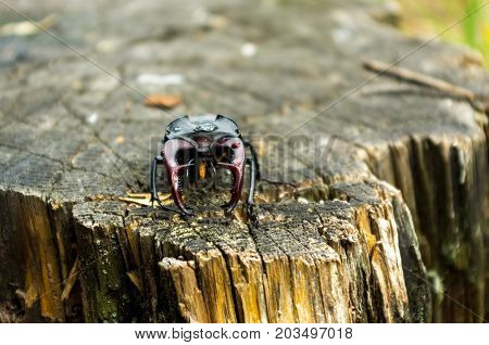 Endangered species of legged beetles. Insect in nature.