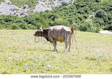 Cow Peeing In A Meadow Full Of Grass, Spain