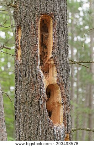 Woodpecker Holes in a Pine Tree in Chutes Provincial Park in Ontario Canada