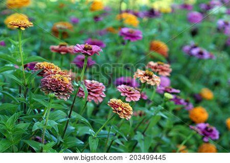 Zinnia garden in bloom in bright, vibrant colors