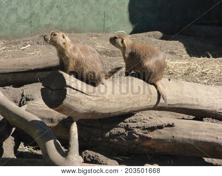 Two Prairie Dogs perched on a log watching for danger.