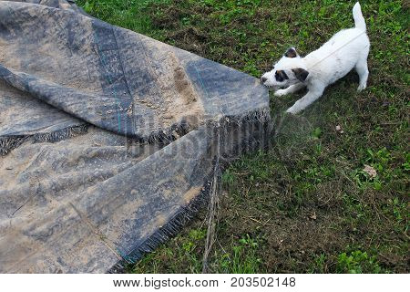 Jack Russell Terrier puppy pulling ground tarp on grass