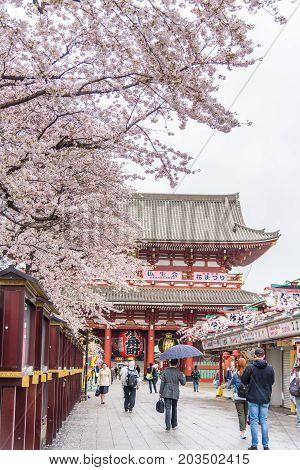 Tokyo Japan - April 07 2017: Cherry Blossom at Sensoji (Asakusa Kannon) temple