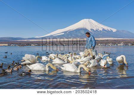 YAMANASHI JAPAN - April 04 2017: Japanese man feed white swan at Lake Yamanaka Yamanashi Japan