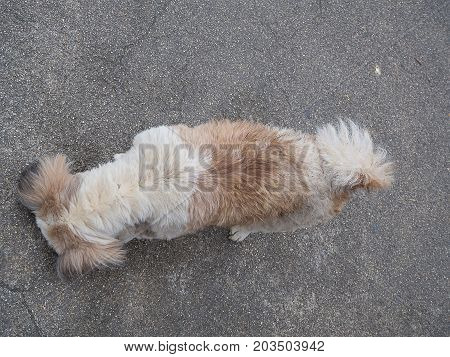 Top view Dog Shih Tzu Dogs are sniffing.