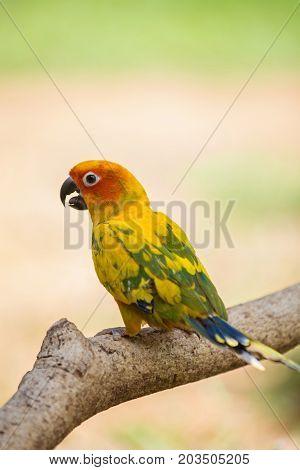 Sun Parakeet or Sun Conure, the beautiful yellow and orange parrot bird