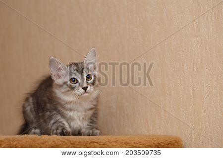 Cute little kitty Bobtail. Pets. Hypoallergenic cat breed. Cheerful kitten