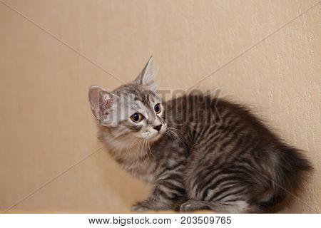 Cute little kitty Bobtail. Pets. Hypoallergenic breed of cats. Cheerful kitten