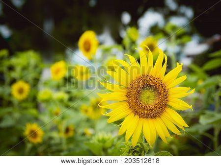 Sunflower field. Sunflowers garden. Sunflowers have abundant health benefits.