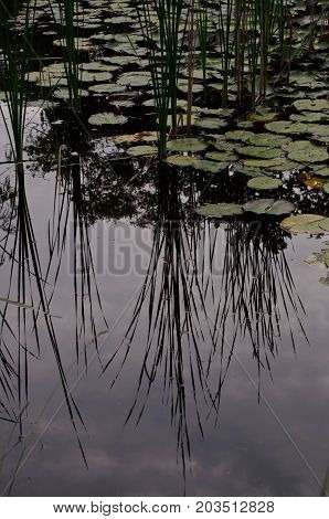 A dark pond scene with lily pads floating among the reflections of reeds and the sky
