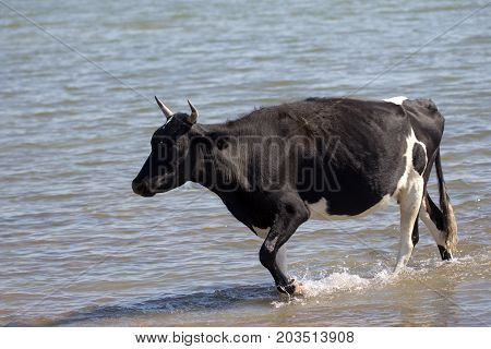 cow walking on the water in the lake