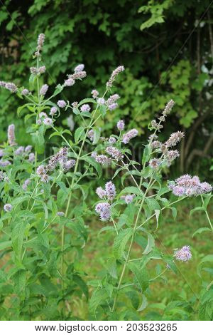 Peppermint perfumed herbaceous plant for soothing tea