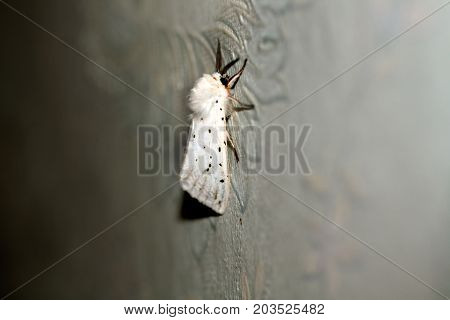White fluffy moth. Insect flying butterfly. Macro