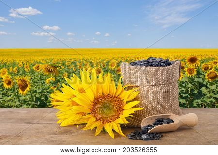 sunflower seeds in burlap sack, fresh sunflowers, scoop with seeds on wooden table with natural background. Blooming sunflower field with blue sky. Agriculture and harvest concept