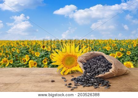 scattered sunflower seeds out of bag and fresh sunflower on wooden table with natural background. Blooming sunflower field with blue sky. Agriculture and harvest concept