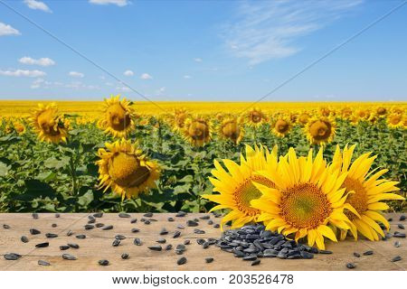 heap of sunflower seeds and fresh sunflowers on wooden table with natural background. Blooming sunflower field with blue sky. Agriculture and harvest concept