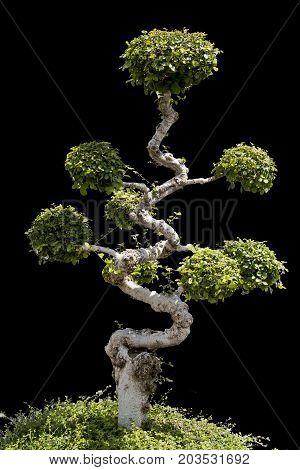 Closeup of green bonsai on white background.