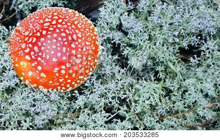 Bright Orange Inedible Fly Agaric Mushroom With White Spots