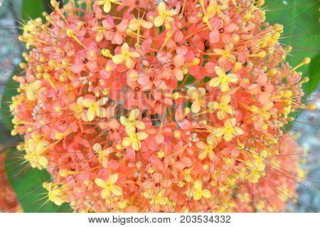 Ashoka tree flower, Saraca sp., Central of Thailand