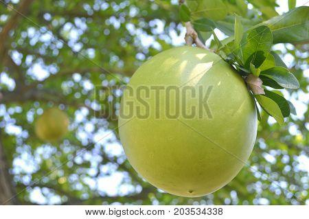 Suicide tree fruit, Cerbera odollam, Central of Thailand