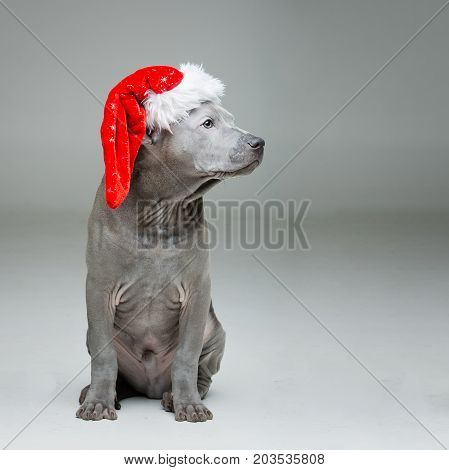 beautiful 3 months old thai ridgeback puppy dog in red christmas hat. studio shot on grey background. copy space.