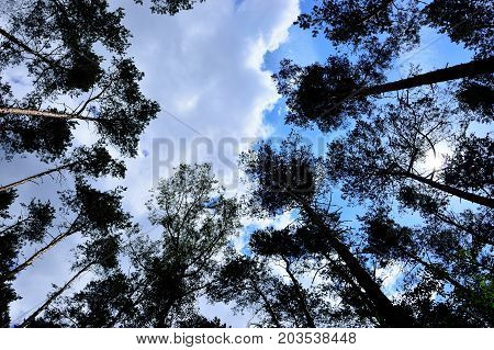 Crowns of trees against the background of the overcast sky.
