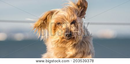 Funny dog with curiosity expression. blurred nautical background. Doggy hairy ear flying in the wind, nose and snout, Yorkshire Terrier brown.