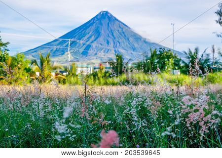 Field of flowers and the perfect cone-shaped volcano of the Philippines