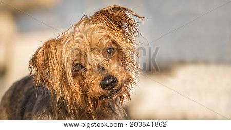 Funny dog with curiosity expression. Copy space, blurred background. Doggy hairy ear, nose and snout, Yorkshire Terrier brown.