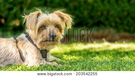 Dog resting in the grass of a park. Copy space, blurred green background. Doggy hairy ear, nose and snout, Yorkshire Terrier brown.