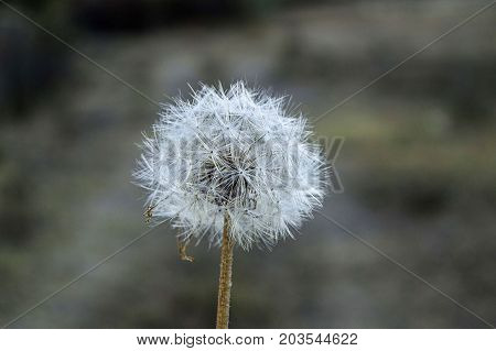 dandelion pictures, dandelion plant pictures, interesting plant pictures in the nature