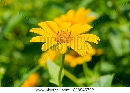 Close-up of a beautiful Yellow Marguerite Flower in Sunlight. View on a amazing Yellow Flower on a sunny Day. Blooming. Flowers. Garden Background.