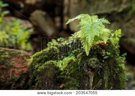 Young Fern Bush On A Stump Covered With Moss