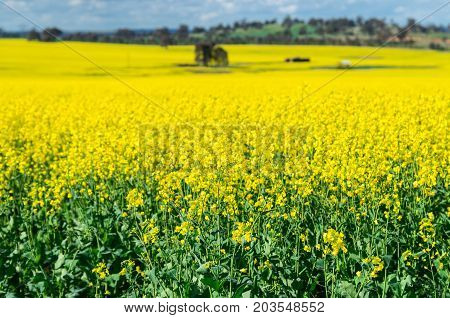 Field of golden canola crops north of Benalla in north-eastern Victoria Australia. Focus is on foreground background is out of focus.