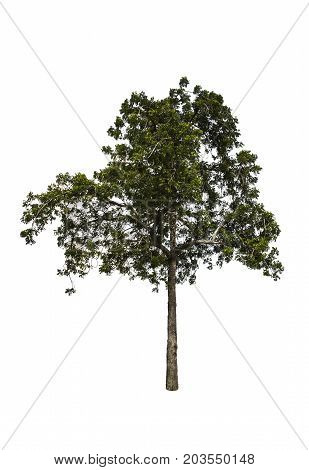 Big tree and green leaves isolated on white background with clipping path. Neem Tree or Holy Tree.